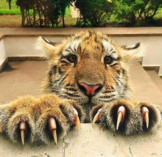 Ноктите на хищника са по-остри от бръснач - ние не сме хищници - Плоската Земя - СТАМАТ